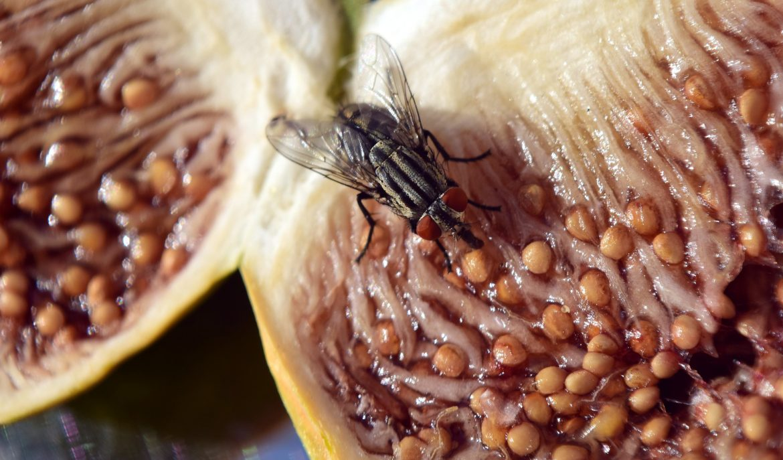 mosca orientale