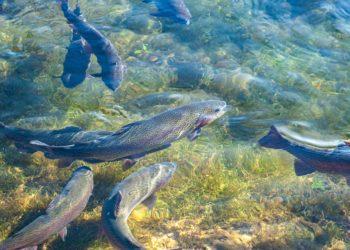 settore ittico