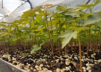 Allasia Plant Magna Grecia