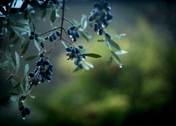 'Camminata tra gli olivi'